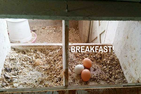 backyard chickens lay eggs breakfast