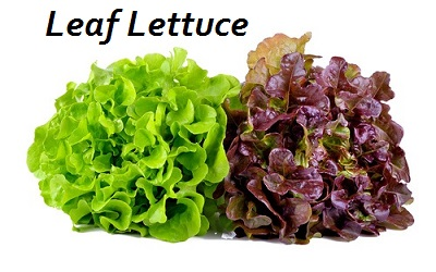 leaf lettuce water content